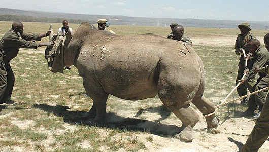 Neushoorn worden overgeplaatst van Nakuru naar Nairobi Nationaal Park