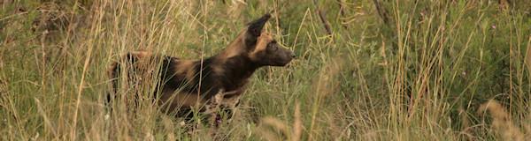 Afrikaanse Wilde jachthond - Ol Pejeta Sweetwaters in Kenia
