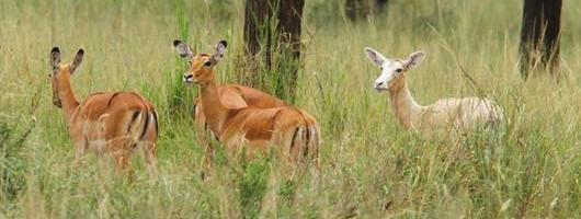 Impala Serengeti Leucisme